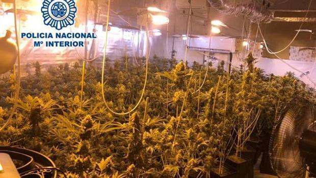 Imagen de las plantas que han sido incautadas por las autoridades