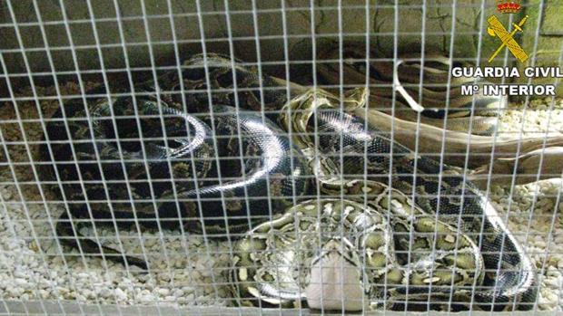 Varios reptiles en uno de los criaderos ilegales descubiertos por la Guardia Civil