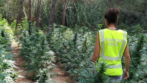 Imagen de la plantación de marihuana descubierta en Torrechiva (Castellón)