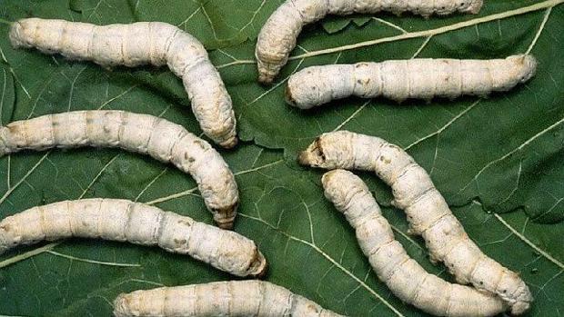 comida para gusanos de seda