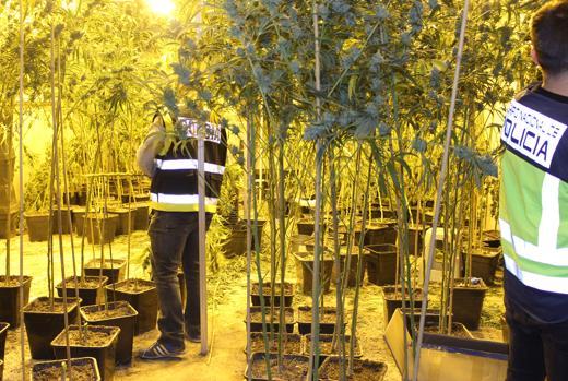 Imagen de una plantación de marihuana desarticulada en la provincia de Valencia