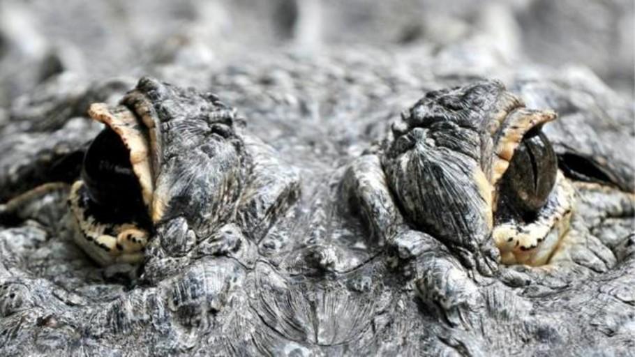Un caimán trepa la valla de una base militar en Florida