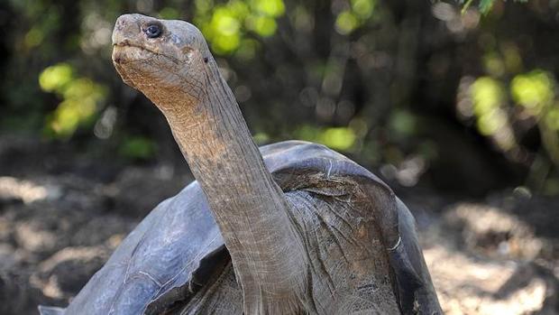 Las tortugas gigantes de la isla de San Cristóbal (Galápagos) se están desplazando hacia las tierras altas