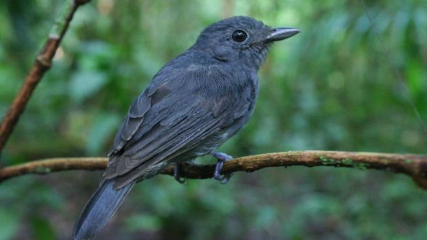 ¿Por qué existen bandadas mixtas de aves en el Amazonas?