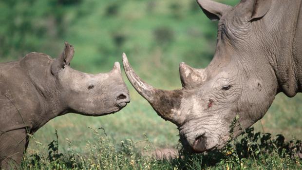Los furtivos han matado 508 rinocerontes en Sudáfrica durante los ocho primeros meses de 2018