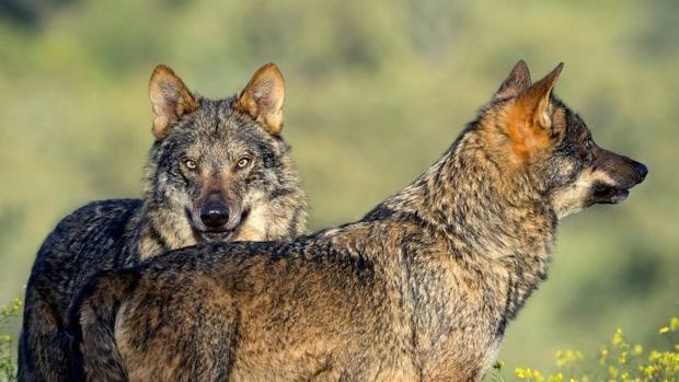 La población de lobo ibérico aumenta un 20% en Castilla y León durante la última década