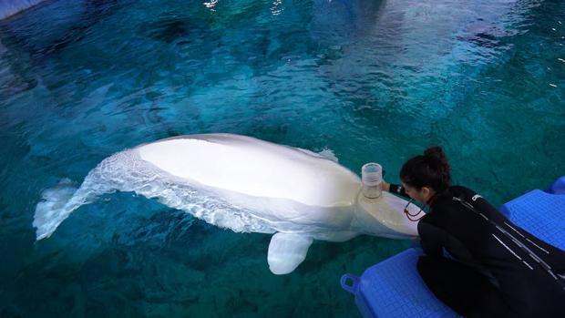 Estudian la tolerancia al cambio climático de las belugas