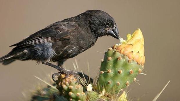 Los pinzones de Darwin cantan menos al amor por una plaga que deforma sus picos