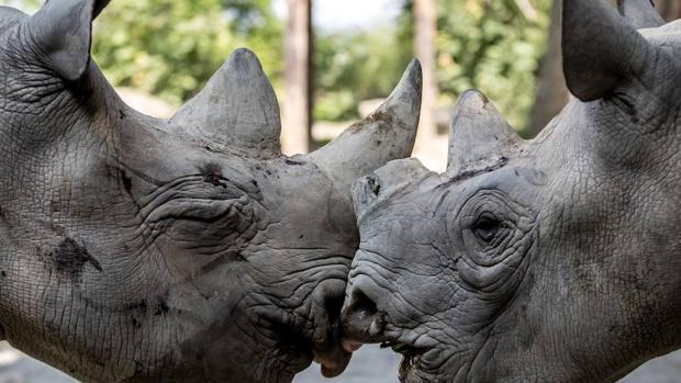 Sudáfrica sigue reduciendo la caza furtiva de rinocerontes