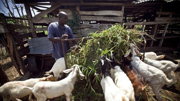 Rebaño de cabras en Jamaica