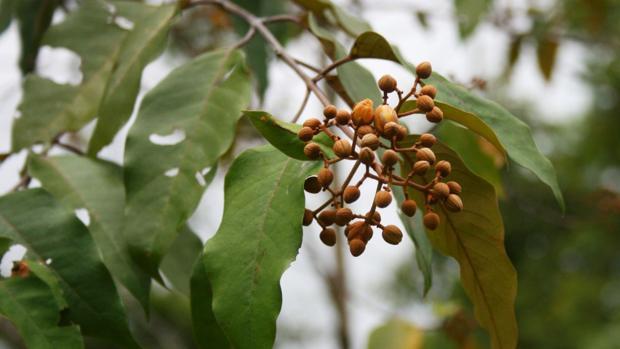 Una planta del Amazonas mata las células del cáncer de hígado