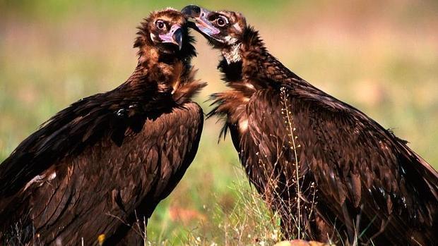 Una pareja de buitres negros