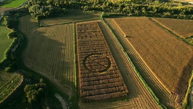 Activistas de Greenpeace marcan un campo de maíz transgénico experimental con una señal de prohibido