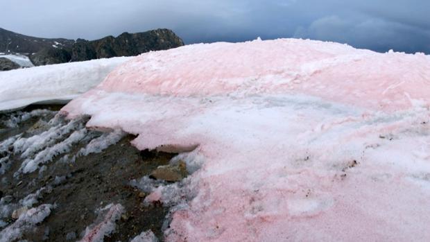 Las algas rojas oscurecen la superficie de la nieve y el hielo en el Ártico.