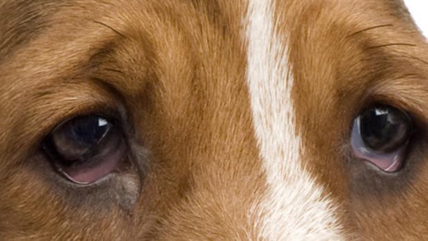cómo deshacerse de la infección ocular del perro
