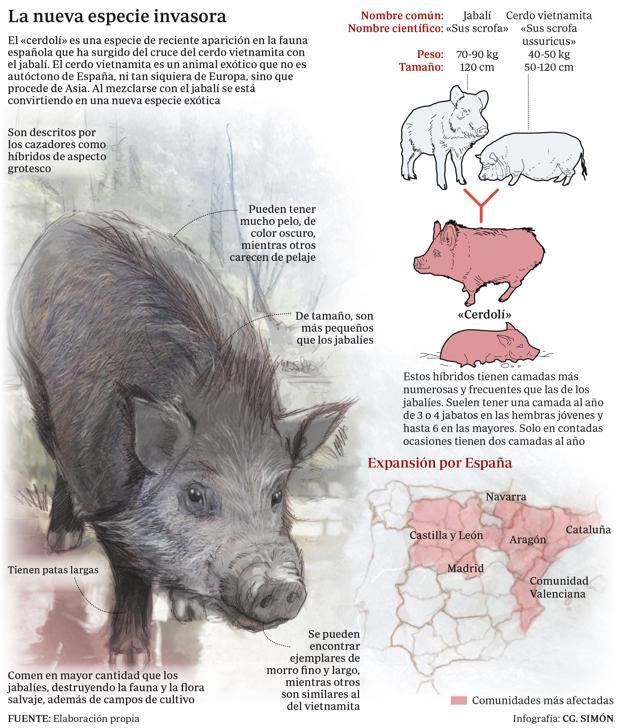 El «cerdolí» se está expandiendo por la geografía española