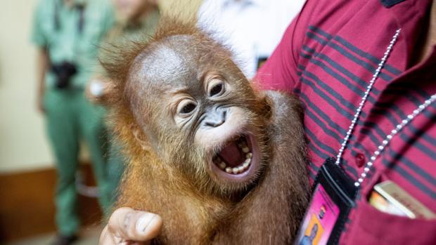 El orangután que llevaba el hombre en la maleta