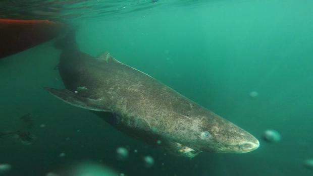 Un tiburón de 392 años encontrado en Groenlandia