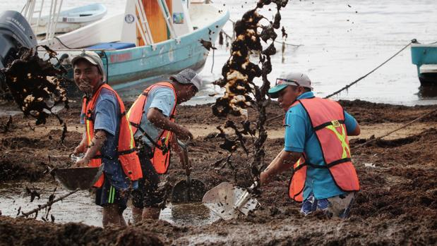 Limpieza del sargazo en las playas de México