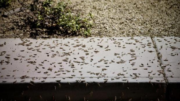 Enormes enjambres de saltamontes han sorprendido a los turistas y residentes de Las Vegas