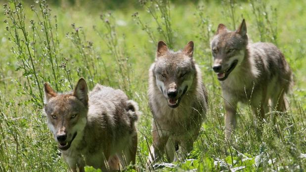 El orín de lobo se está utilizando en la carretera N-631 de la provincia de Zamora
