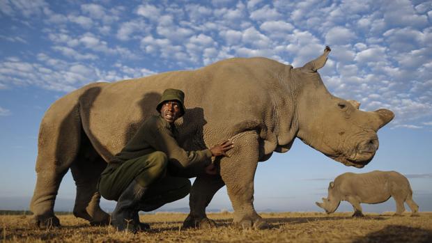 Najin es una de las dos únicas hembras de rinoceronte blanco del norte que quedan en el mundo