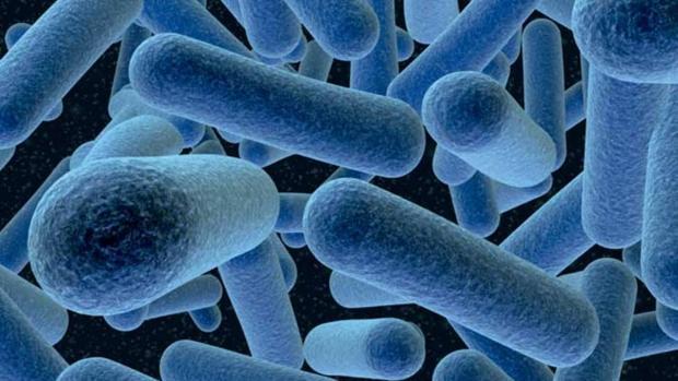 La Listeria monocytogenes, que causa la listeriosis, al microscopio
