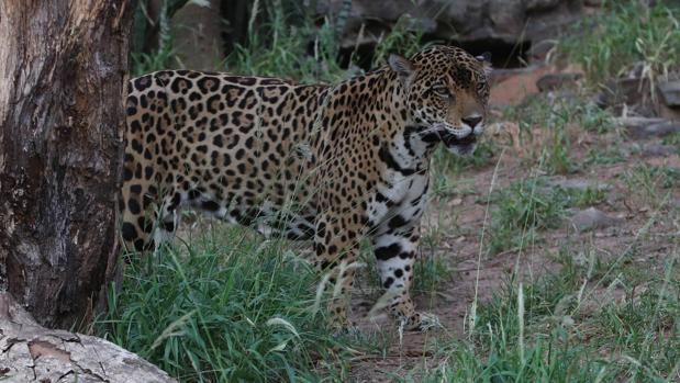 Un jaguar en el zoológico Noel Kempff Mercado de Santa Cruz (Bolivia)