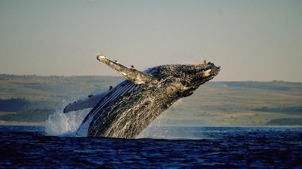 Avistamiento de ballenas en Hermanus, Ciudad del Cabo, Sudáfrica