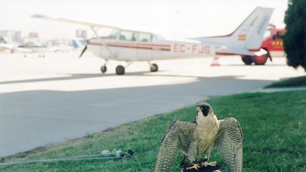 La cetrería es un método eficaz para evitar la presencia de aves en los aeropuertos